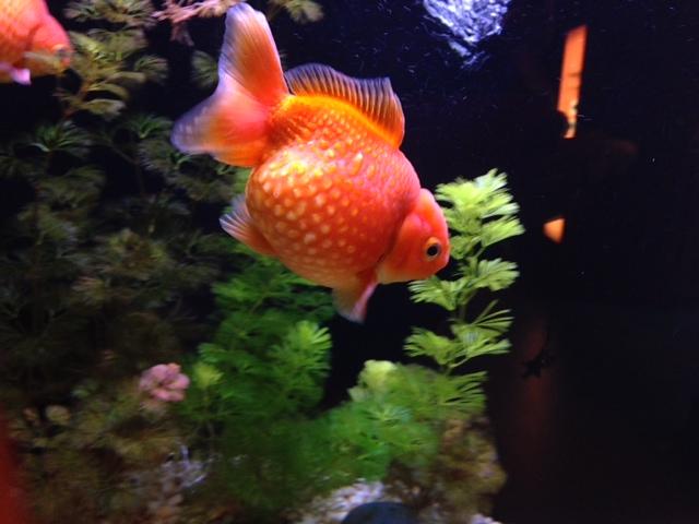 ドット金魚