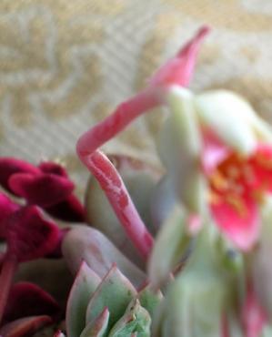 花茎もお粉で赤い!