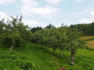 りんご園。りんごの木が並んでいます。
