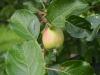 少し色づき始めたりんご