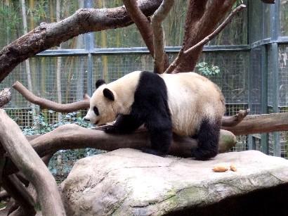 お母さんパンダ