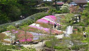 滝谷 しば桜