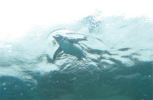 ペンギン泳ぐ