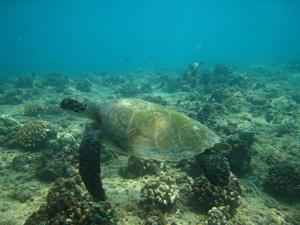 ハワイの海がめ
