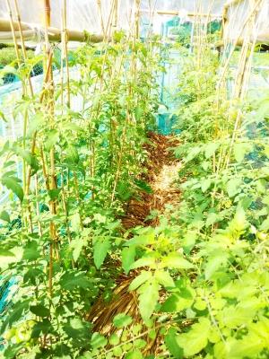 トマト栽培 有機無農薬