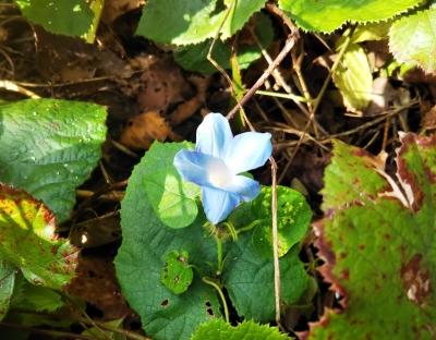 謎の青い花