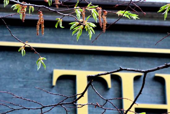 ソロの樹も赤ちゃんの葉っぱが・・(*^。♪