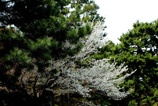 松の木と良く似合っています☆