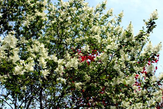 五月梅も満開です(*^_^*)