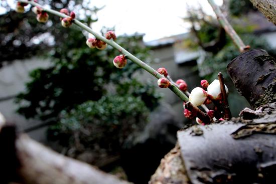 ひと足早く白梅が咲きています☆