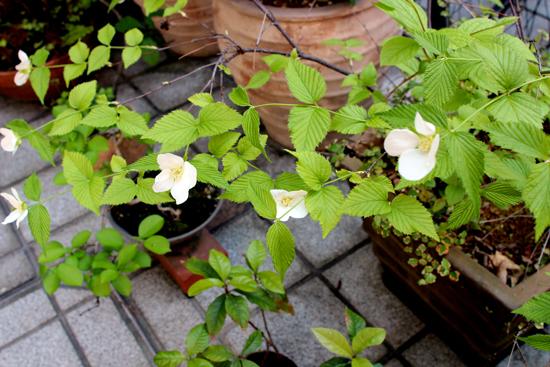 白ヤマブキも咲き出しました(*^^*)