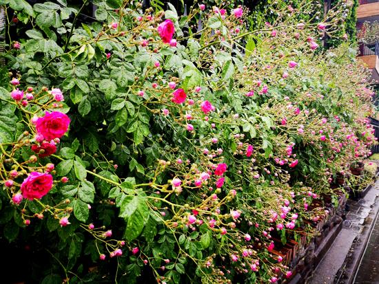 薔薇の方へと