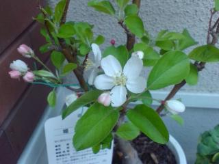 姫りんごの木