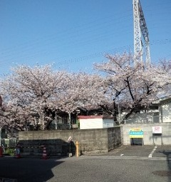 南海春木駅の桜…今年も満開♪