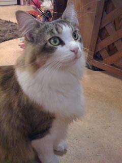 猫カフェの猫c