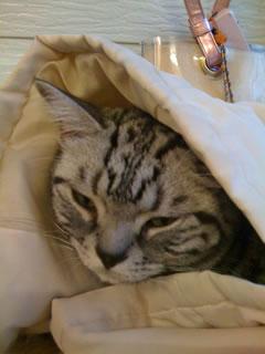 猫カフェの猫d