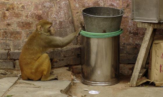 Delhi Monkey