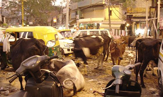 Delhi Cow