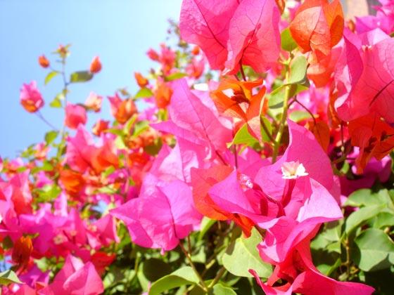 Muscat Flower
