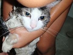 1ヶ月に一度、猫の行水・・・・まずは、水が大嫌いな、チュウタロー