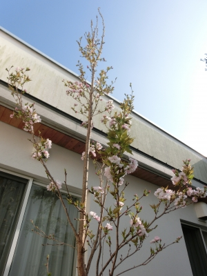 桜のさくら