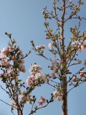 桜のさくら2