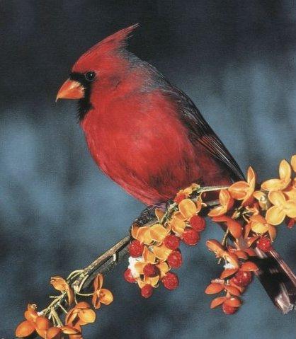 美しい赤い羽根は人の目を惹きます