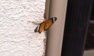 蝶のアップ1