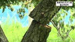 切断されたナシの木(BBT)