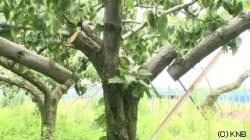 ナシの木切断(KNB)