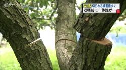 ナシの木の切断(チューリップ)
