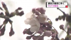 桜開花発表(チューリップ)