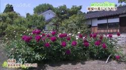 内山邸の芍薬(チューリップ)
