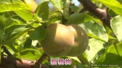 梅の収穫(KNB)