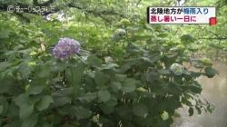 6月11日梅雨入り(チューリップ)
