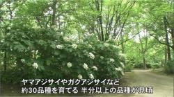 中央植物園のアジサイ(BBT)