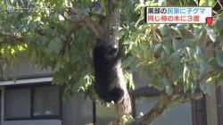 木に登る小熊(チューリップ)
