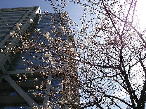 アロマスクエアの桜