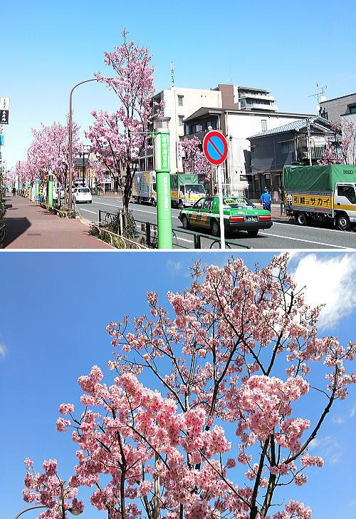 東邦医大通りの桜