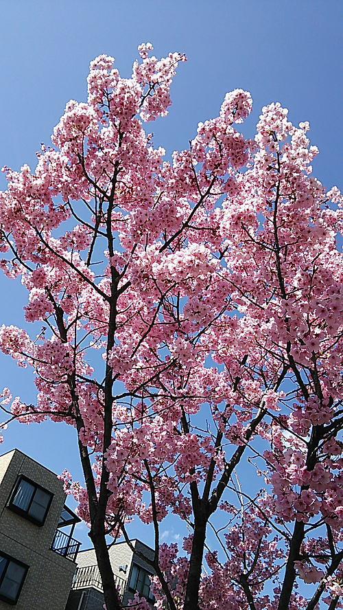 東邦医大通り桜