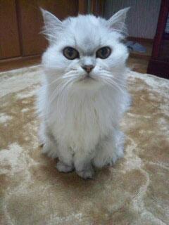 ペルシャ猫のメイちゃん実物