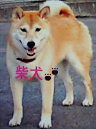 柴犬レオちゃん