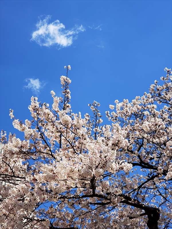 たまプラーザ桜