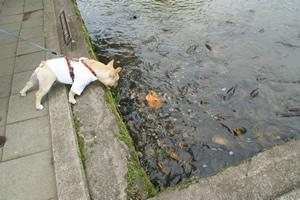 フレンチブルドッグと鯉