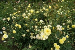 軽井沢でバラを見た