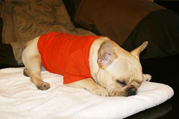 睡眠フレンチブルドッグ