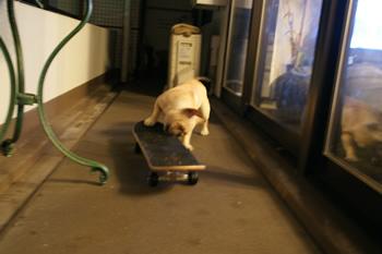 スケートボードをかじるフレンチブルドッグ