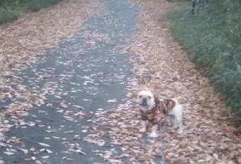 森林公園で迷彩柄でカモフラージュするフレンチブルドッグ