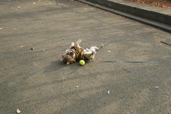 テニスボールを発見したフレンチブルドッグ