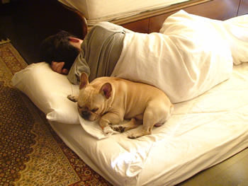 フレンチブルドッグと枕